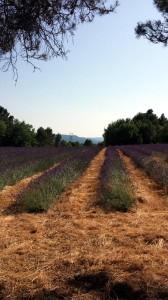Lavendelfeld mit Blick auf den Grand Luberon