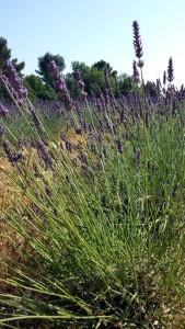 Lavandin in der Provence