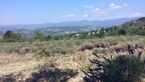 abgeerntetes Lavandinfeld mit Blick auf den Mont Ventoux